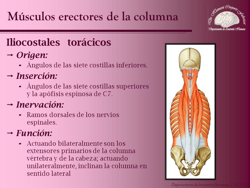 Departamento de Anatomía Humana, U. A. N. L. Iliocostales torácicos Origen: - Ángulos de las siete costillas inferiores. Inserción: - Ángulos de las s