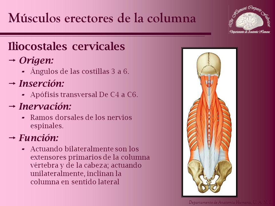 Departamento de Anatomía Humana, U. A. N. L. Iliocostales cervicales Origen: - Ángulos de las costillas 3 a 6. Inserción: - Apófisis transversal De C4