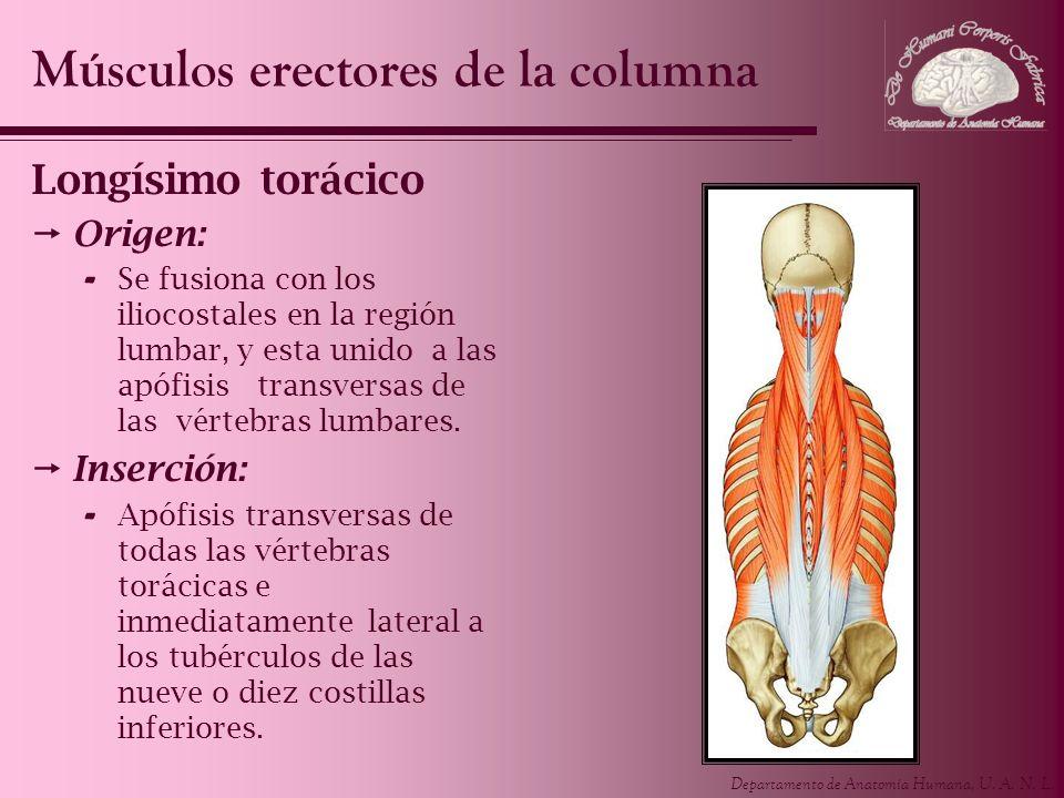 Departamento de Anatomía Humana, U. A. N. L. Longísimo torácico Origen: - Se fusiona con los iliocostales en la región lumbar, y esta unido a las apóf