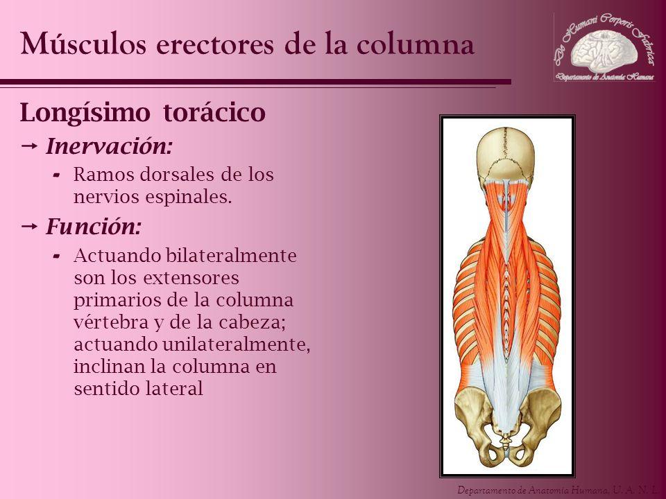 Departamento de Anatomía Humana, U. A. N. L. Longísimo torácico Inervación: - Ramos dorsales de los nervios espinales. Función: - Actuando bilateralme