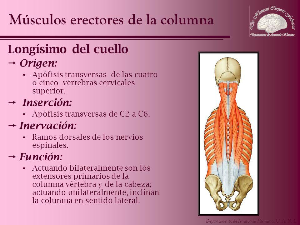 Departamento de Anatomía Humana, U. A. N. L. Longísimo del cuello Origen: - Apófisis transversas de las cuatro o cinco vértebras cervicales superior.