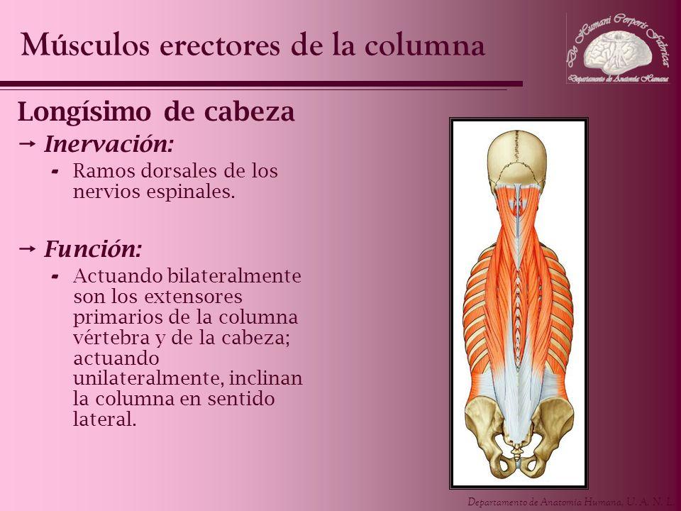 Departamento de Anatomía Humana, U. A. N. L. Longísimo de cabeza Inervación: - Ramos dorsales de los nervios espinales. Función: - Actuando bilateralm