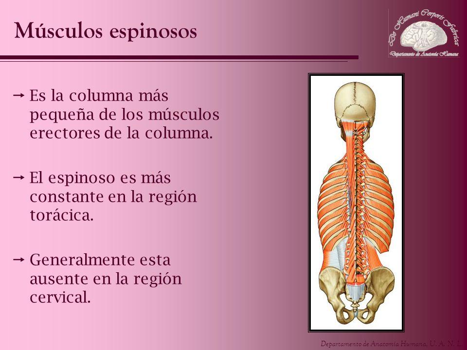 Departamento de Anatomía Humana, U. A. N. L. Es la columna más pequeña de los músculos erectores de la columna. El espinoso es más constante en la reg