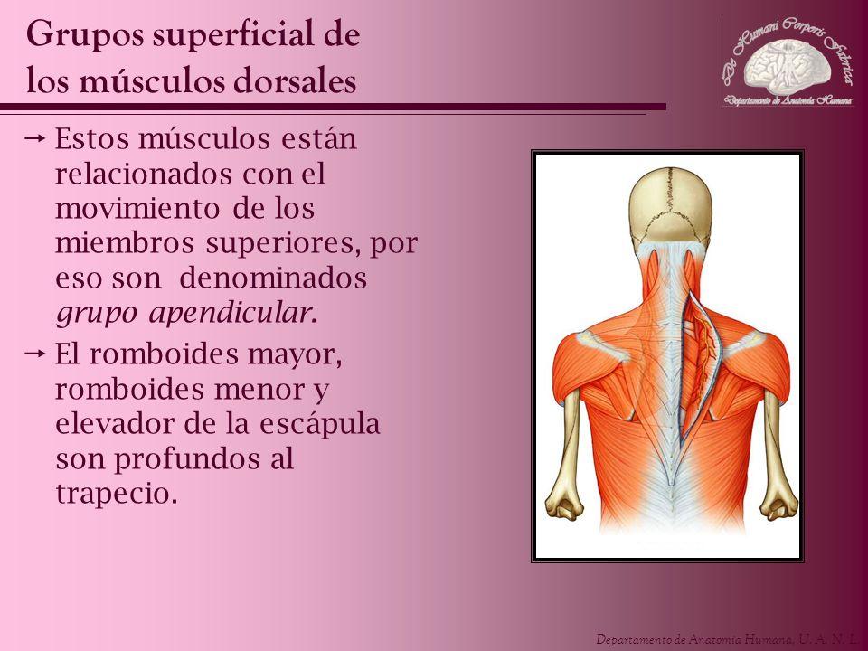 Departamento de Anatomía Humana, U. A. N. L. Estos músculos están relacionados con el movimiento de los miembros superiores, por eso son denominados g