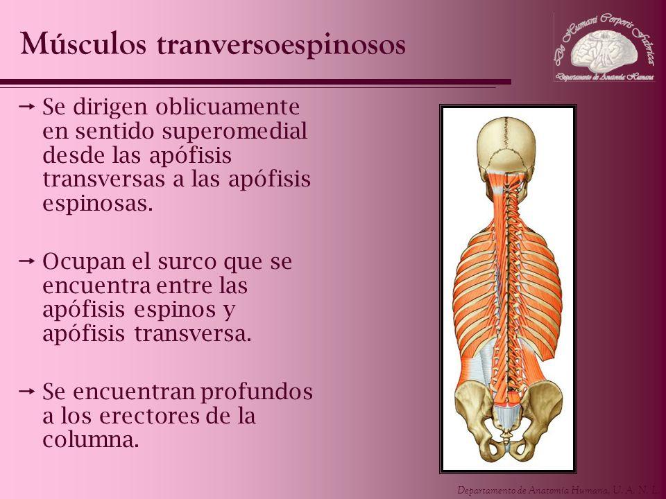 Departamento de Anatomía Humana, U. A. N. L. Se dirigen oblicuamente en sentido superomedial desde las apófisis transversas a las apófisis espinosas.