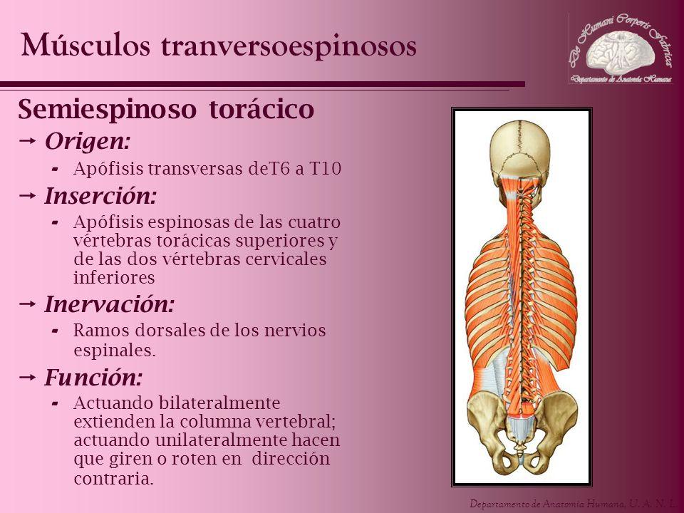 Departamento de Anatomía Humana, U. A. N. L. Semiespinoso torácico Origen: - Apófisis transversas deT6 a T10 Inserción: - Apófisis espinosas de las cu