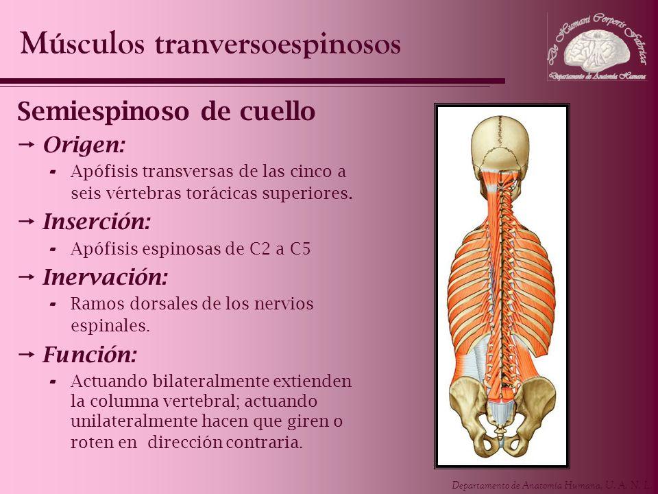 Departamento de Anatomía Humana, U. A. N. L. Semiespinoso de cuello Origen: - Apófisis transversas de las cinco a seis vértebras torácicas superiores.