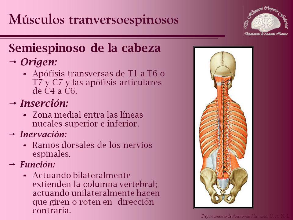 Departamento de Anatomía Humana, U. A. N. L. Semiespinoso de la cabeza Origen: - Apófisis transversas de T1 a T6 o T7 y C7 y las apófisis articulares