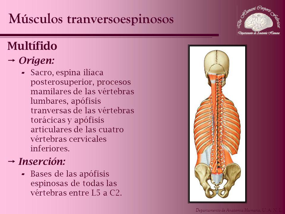 Departamento de Anatomía Humana, U. A. N. L. Multífido Origen: - Sacro, espina ilíaca posterosuperior, procesos mamilares de las vértebras lumbares, a