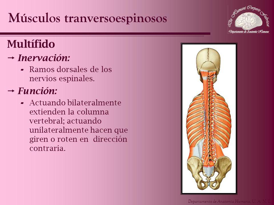 Departamento de Anatomía Humana, U. A. N. L. Multífido Inervación: - Ramos dorsales de los nervios espinales. Función: - Actuando bilateralmente extie
