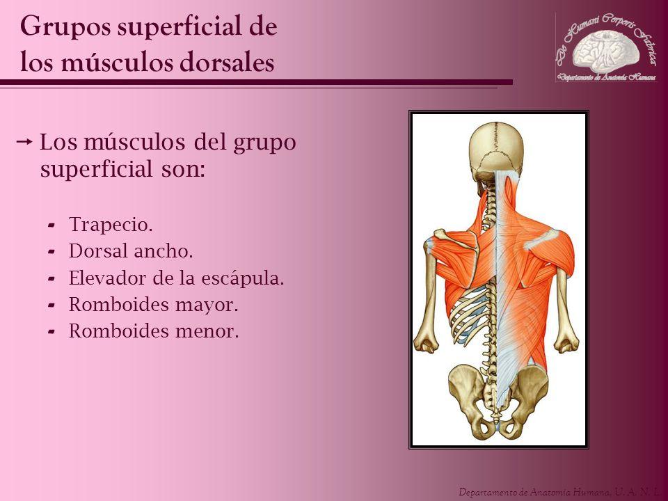 Departamento de Anatomía Humana, U. A. N. L. Los músculos del grupo superficial son: - Trapecio. - Dorsal ancho. - Elevador de la escápula. - Romboide
