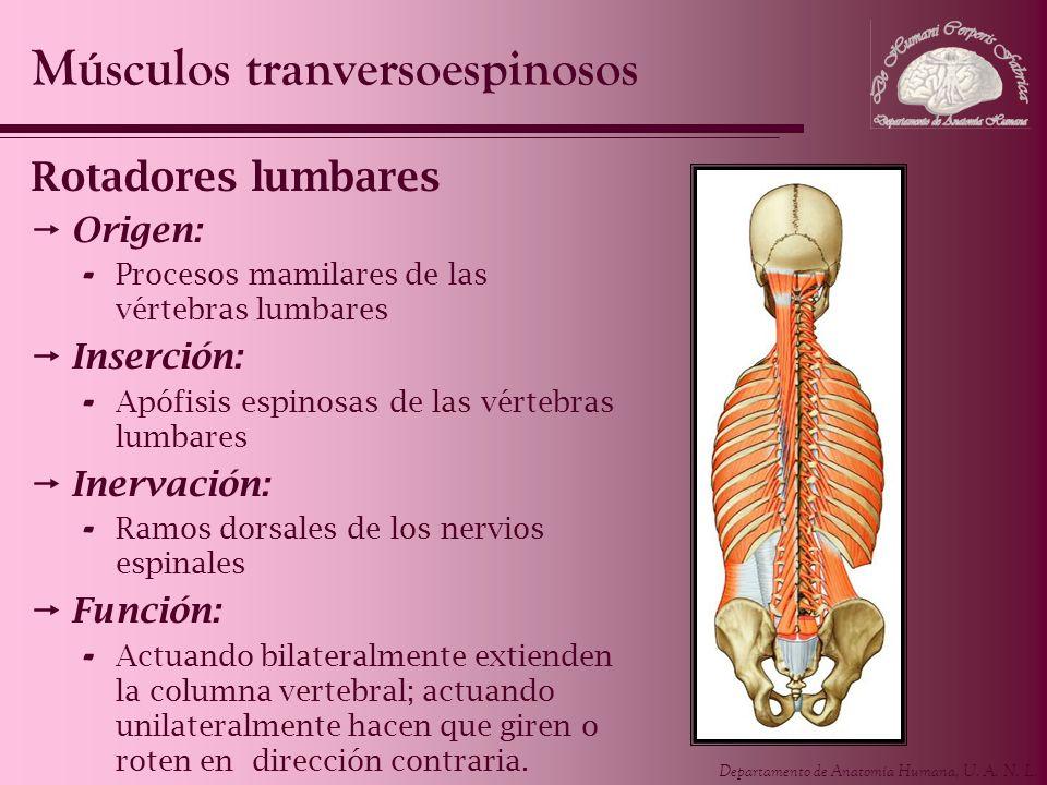 Departamento de Anatomía Humana, U. A. N. L. Rotadores lumbares Origen: - Procesos mamilares de las vértebras lumbares Inserción: - Apófisis espinosas