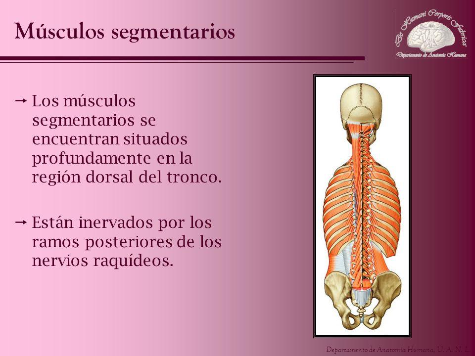Departamento de Anatomía Humana, U. A. N. L. Los músculos segmentarios se encuentran situados profundamente en la región dorsal del tronco. Están iner