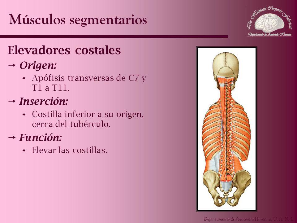 Departamento de Anatomía Humana, U. A. N. L. Elevadores costales Origen: - Apófisis transversas de C7 y T1 a T11. Inserción: - Costilla inferior a su