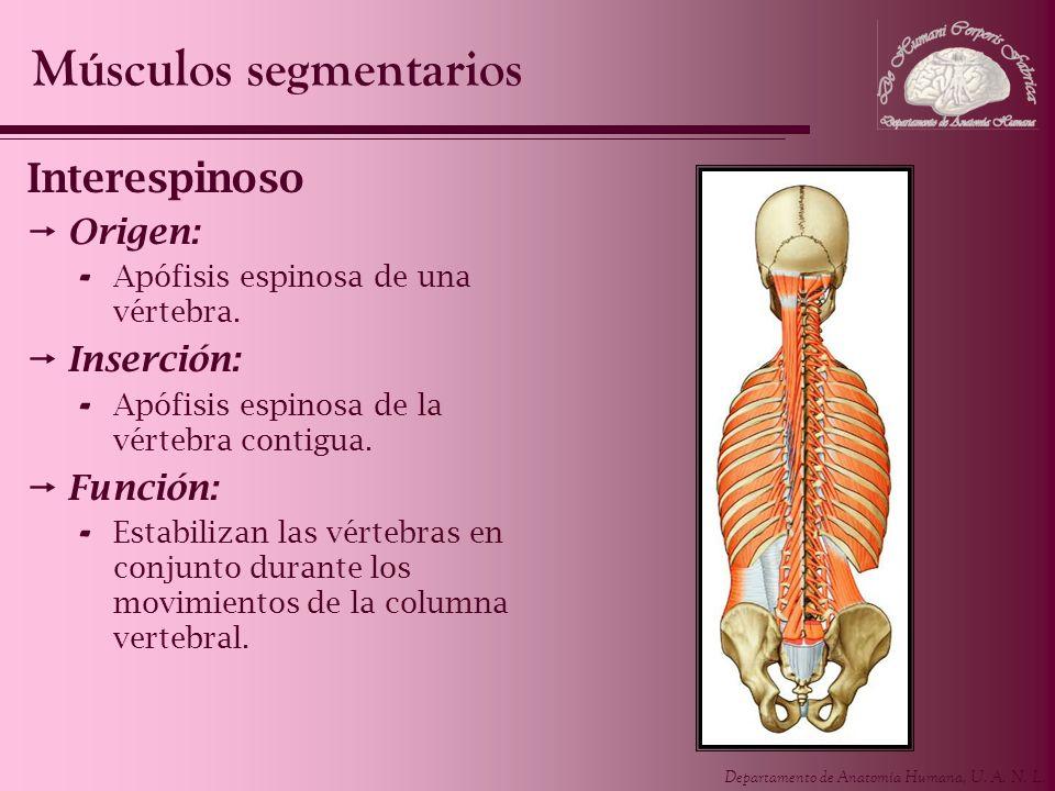 Departamento de Anatomía Humana, U. A. N. L. Interespinoso Origen: - Apófisis espinosa de una vértebra. Inserción: - Apófisis espinosa de la vértebra