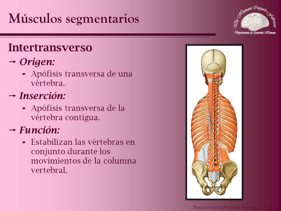 Departamento de Anatomía Humana, U. A. N. L. Intertransverso Origen: - Apófisis transversa de una vértebra. Inserción: - Apófisis transversa de la vér
