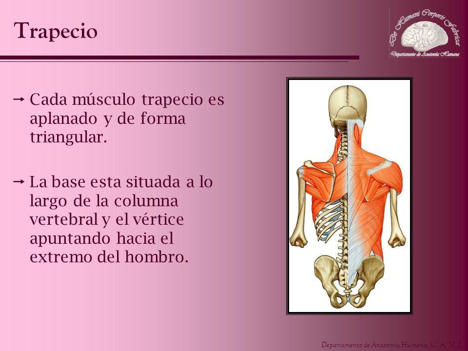 Departamento de Anatomía Humana, U. A. N. L. Cada músculo trapecio es aplanado y de forma triangular. La base esta situada a lo largo de la columna ve