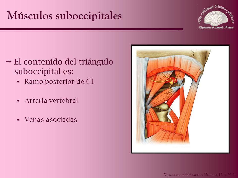 Departamento de Anatomía Humana, U. A. N. L. El contenido del triángulo suboccipital es: - Ramo posterior de C1 - Arteria vertebral - Venas asociadas