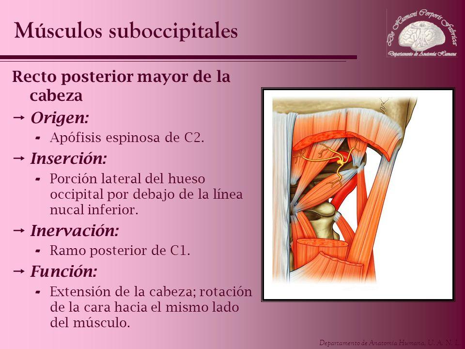 Departamento de Anatomía Humana, U. A. N. L. Recto posterior mayor de la cabeza Origen: - Apófisis espinosa de C2. Inserción: - Porción lateral del hu