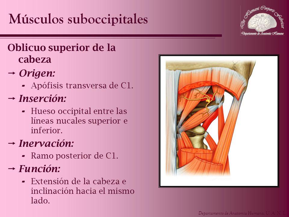 Departamento de Anatomía Humana, U. A. N. L. Oblicuo superior de la cabeza Origen: - Apófisis transversa de C1. Inserción: - Hueso occipital entre las