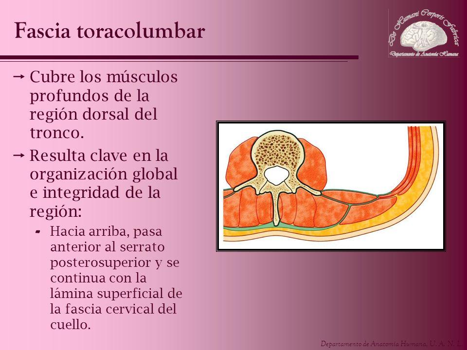 Departamento de Anatomía Humana, U. A. N. L. Cubre los músculos profundos de la región dorsal del tronco. Resulta clave en la organización global e in