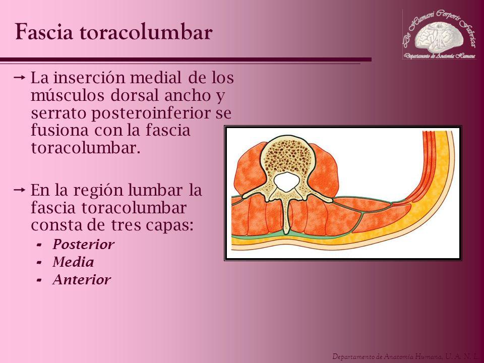 Departamento de Anatomía Humana, U. A. N. L. La inserción medial de los músculos dorsal ancho y serrato posteroinferior se fusiona con la fascia torac