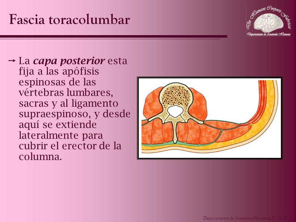 Departamento de Anatomía Humana, U. A. N. L. La capa posterior esta fija a las apófisis espinosas de las vértebras lumbares, sacras y al ligamento sup