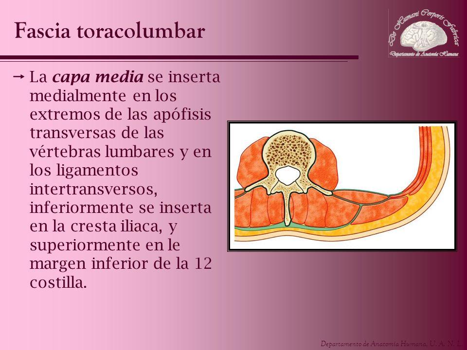 Departamento de Anatomía Humana, U. A. N. L. La capa media se inserta medialmente en los extremos de las apófisis transversas de las vértebras lumbare