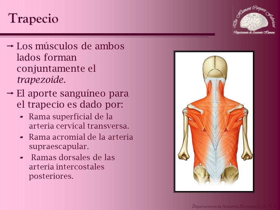 Departamento de Anatomía Humana, U. A. N. L. Los músculos de ambos lados forman conjuntamente el trapezoide. El aporte sanguíneo para el trapecio es d