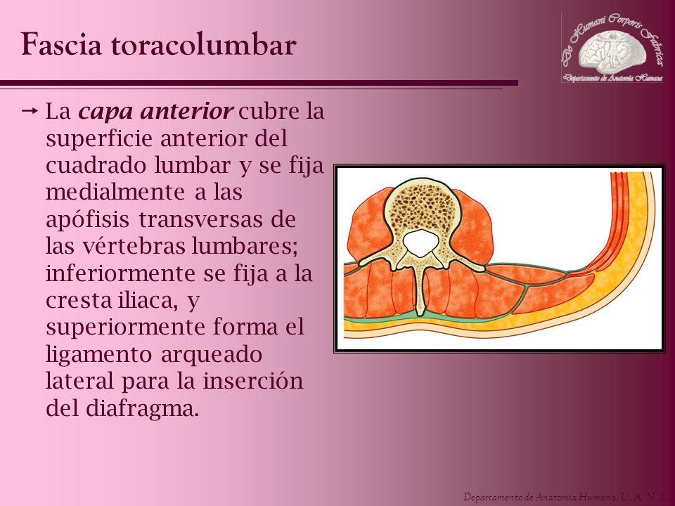 Departamento de Anatomía Humana, U. A. N. L. La capa anterior cubre la superficie anterior del cuadrado lumbar y se fija medialmente a las apófisis tr