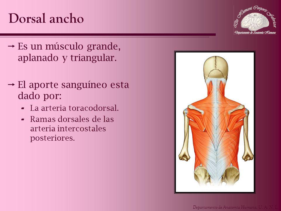 Departamento de Anatomía Humana, U. A. N. L. Es un músculo grande, aplanado y triangular. El aporte sanguíneo esta dado por: - La arteria toracodorsal