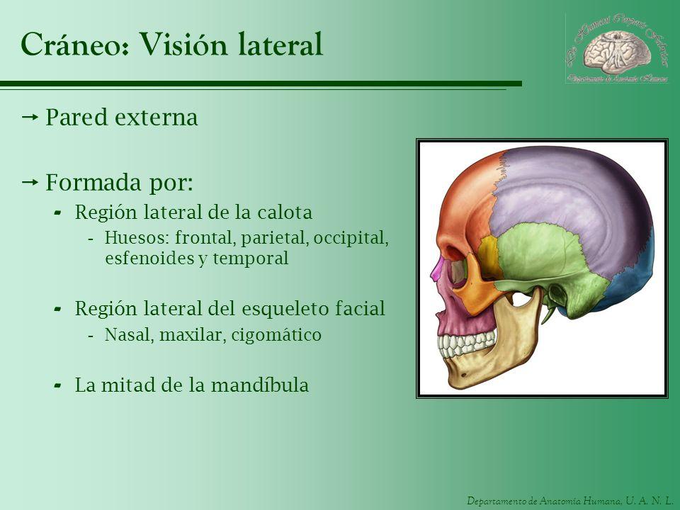 Departamento de Anatomía Humana, U. A. N. L. Cráneo: Visión lateral Pared externa Formada por: - Región lateral de la calota -Huesos: frontal, parieta