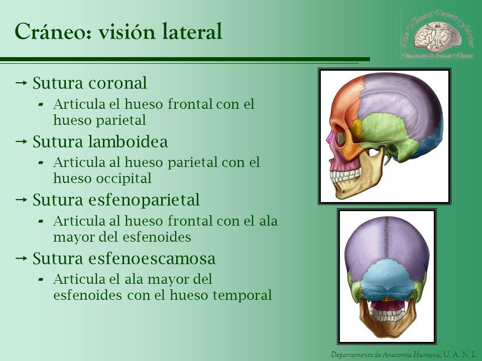 Departamento de Anatomía Humana, U. A. N. L. Cráneo: visión lateral Sutura coronal - Articula el hueso frontal con el hueso parietal Sutura lamboidea