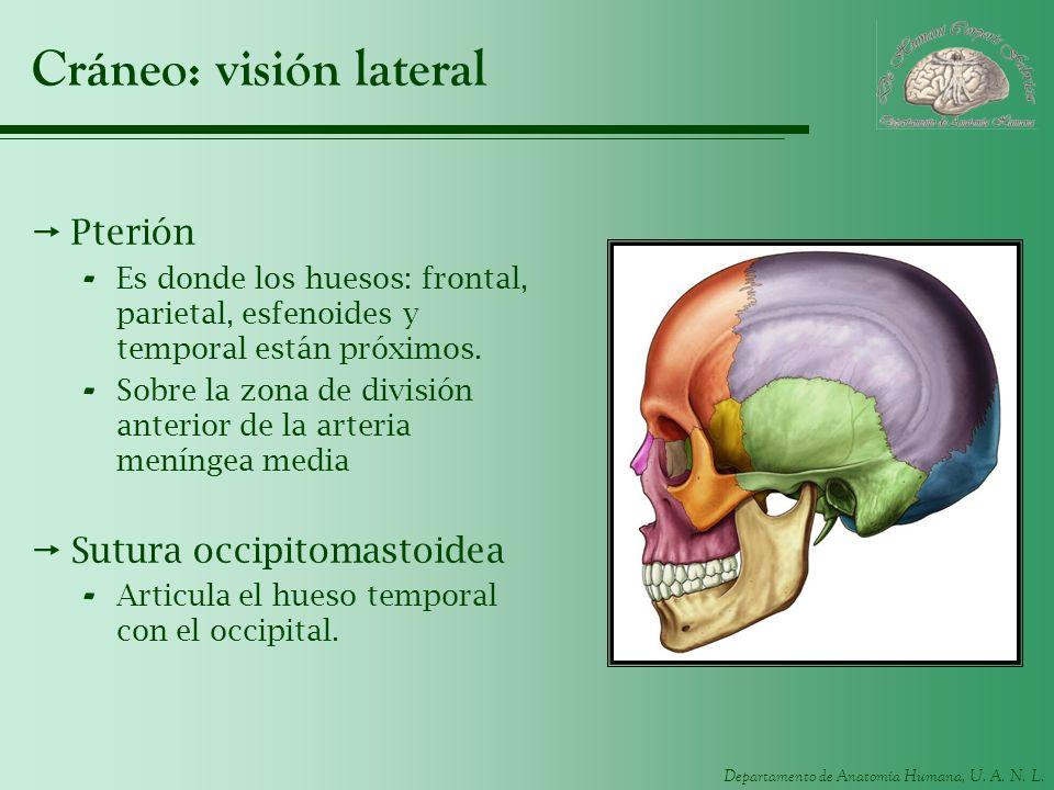 Departamento de Anatomía Humana, U. A. N. L. Cráneo: visión lateral Pterión - Es donde los huesos: frontal, parietal, esfenoides y temporal están próx