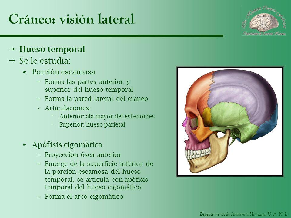 Departamento de Anatomía Humana, U. A. N. L. Cráneo: visión lateral Hueso temporal Se le estudia: - Porción escamosa -Forma las partes anterior y supe