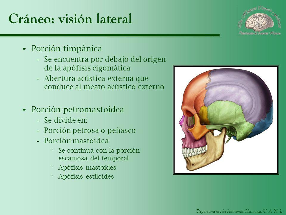 Departamento de Anatomía Humana, U. A. N. L. Cráneo: visión lateral - Porción timpánica -Se encuentra por debajo del origen de la apófisis cigomática