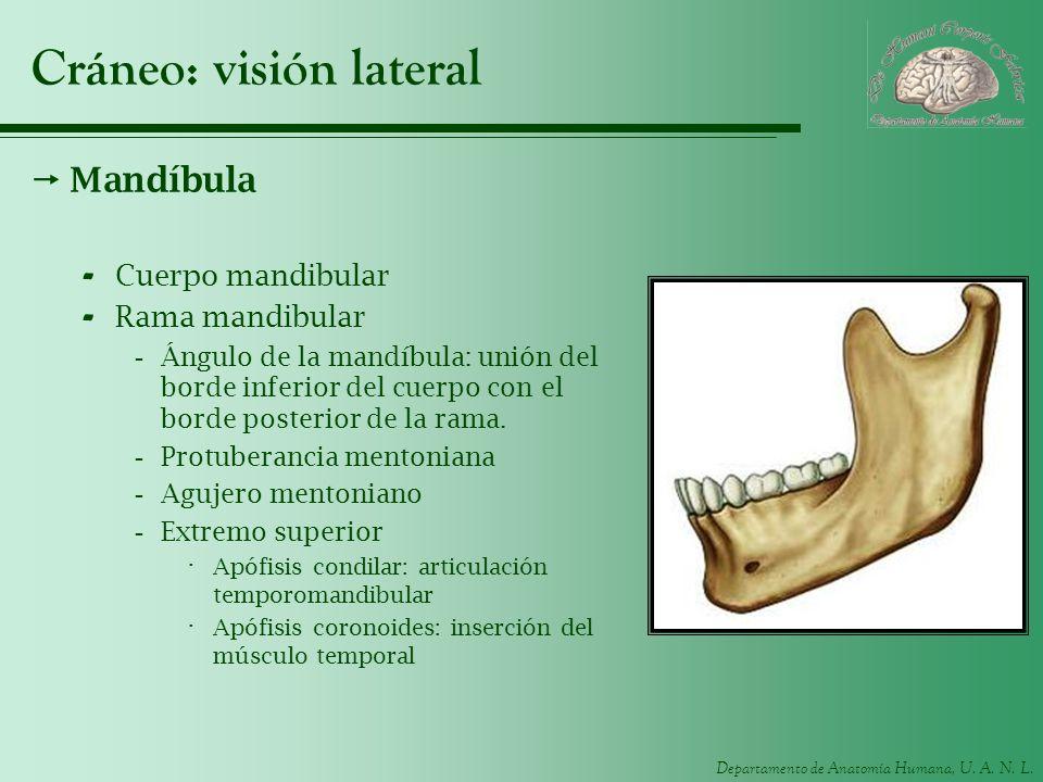 Departamento de Anatomía Humana, U. A. N. L. Cráneo: visión lateral Mandíbula - Cuerpo mandibular - Rama mandibular -Ángulo de la mandíbula: unión del
