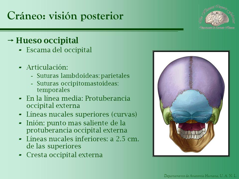 Departamento de Anatomía Humana, U. A. N. L. Cráneo: visión posterior Hueso occipital - Escama del occipital - Articulación: -Suturas lambdoideas: par