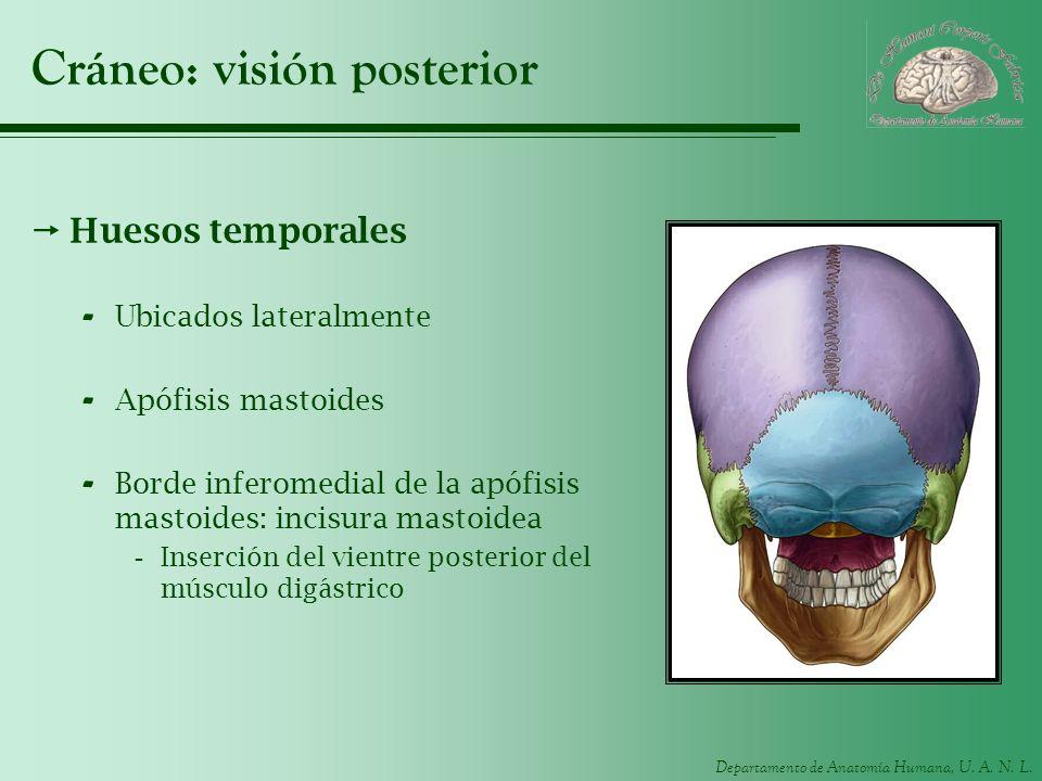 Departamento de Anatomía Humana, U. A. N. L. Cráneo: visión posterior Huesos temporales - Ubicados lateralmente - Apófisis mastoides - Borde inferomed