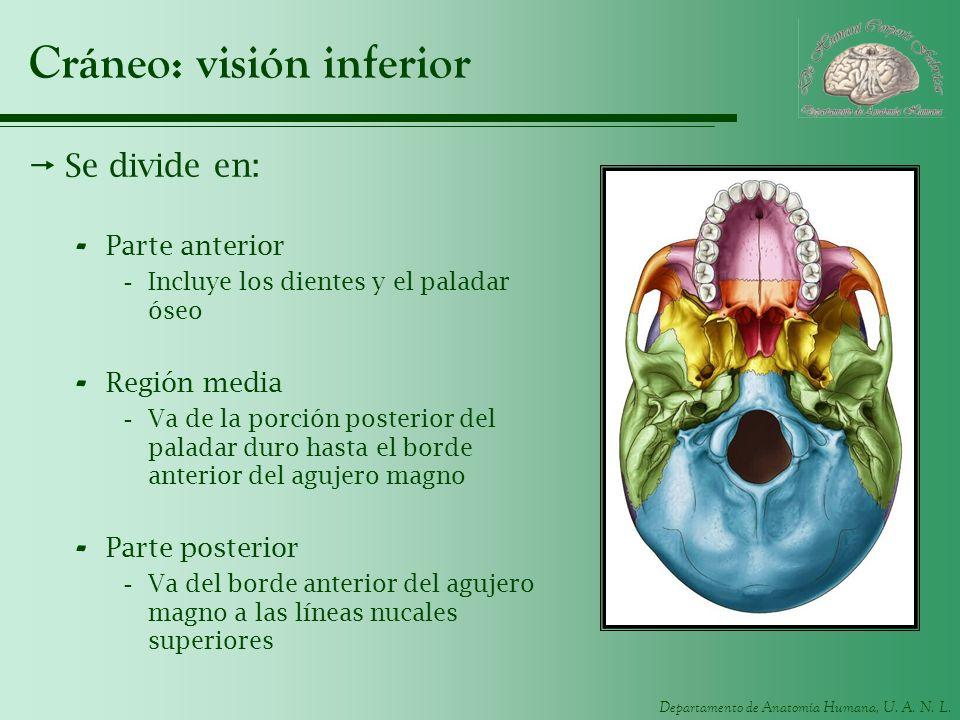 Departamento de Anatomía Humana, U. A. N. L. Cráneo: visión inferior Se divide en: - Parte anterior -Incluye los dientes y el paladar óseo - Región me