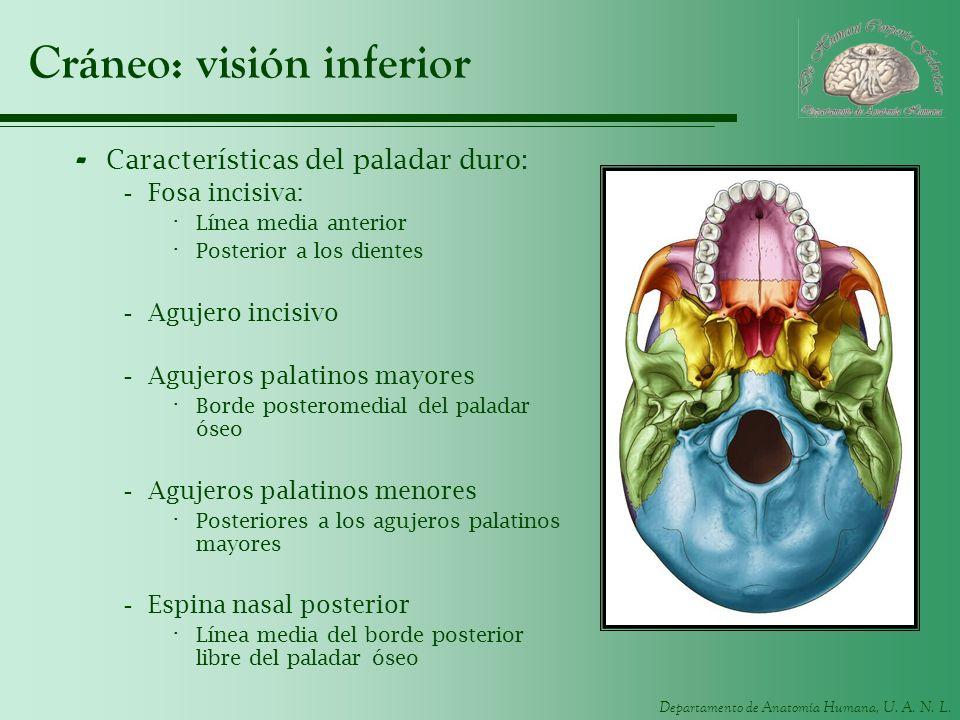 Departamento de Anatomía Humana, U. A. N. L. Cráneo: visión inferior - Características del paladar duro: -Fosa incisiva: · Línea media anterior · Post