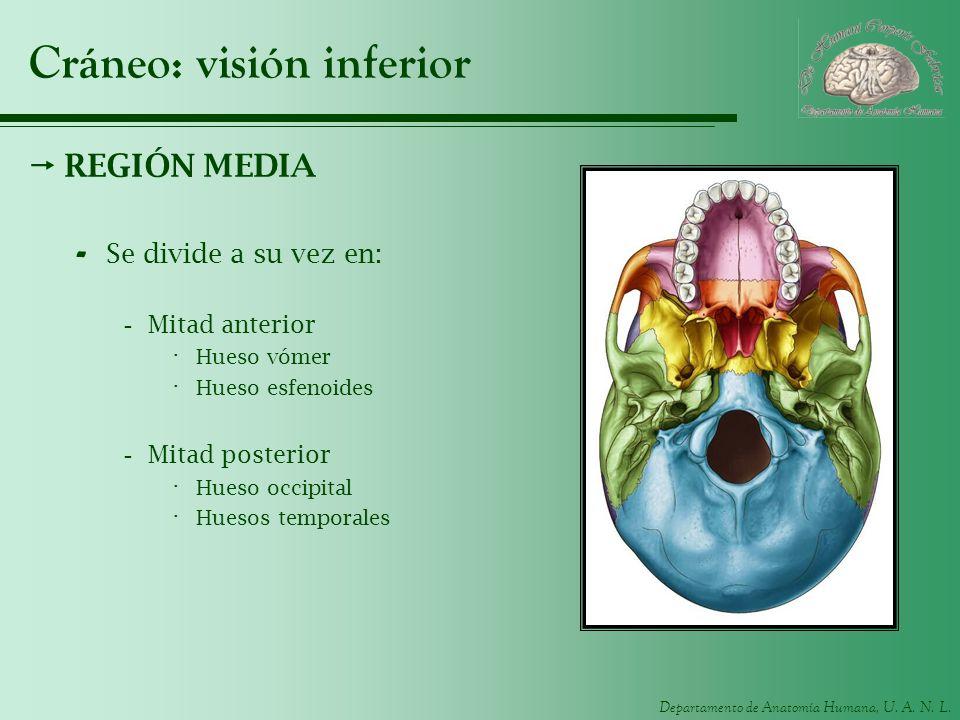 Departamento de Anatomía Humana, U. A. N. L. Cráneo: visión inferior REGIÓN MEDIA - Se divide a su vez en: -Mitad anterior · Hueso vómer · Hueso esfen