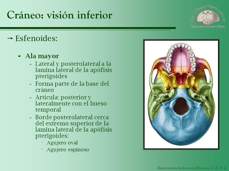 Departamento de Anatomía Humana, U. A. N. L. Cráneo: visión inferior Esfenoides: - Ala mayor -Lateral y posterolateral a la lamina lateral de la apófi