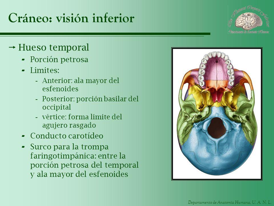 Departamento de Anatomía Humana, U. A. N. L. Cráneo: visión inferior Hueso temporal - Porción petrosa - Limites: -Anterior: ala mayor del esfenoides -