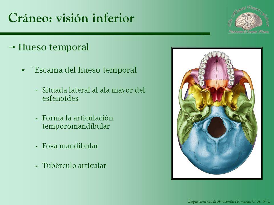 Departamento de Anatomía Humana, U. A. N. L. Cráneo: visión inferior Hueso temporal - `Escama del hueso temporal -Situada lateral al ala mayor del esf