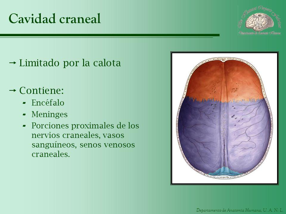 Departamento de Anatomía Humana, U. A. N. L. Cavidad craneal Limitado por la calota Contiene: - Encéfalo - Meninges - Porciones proximales de los nerv