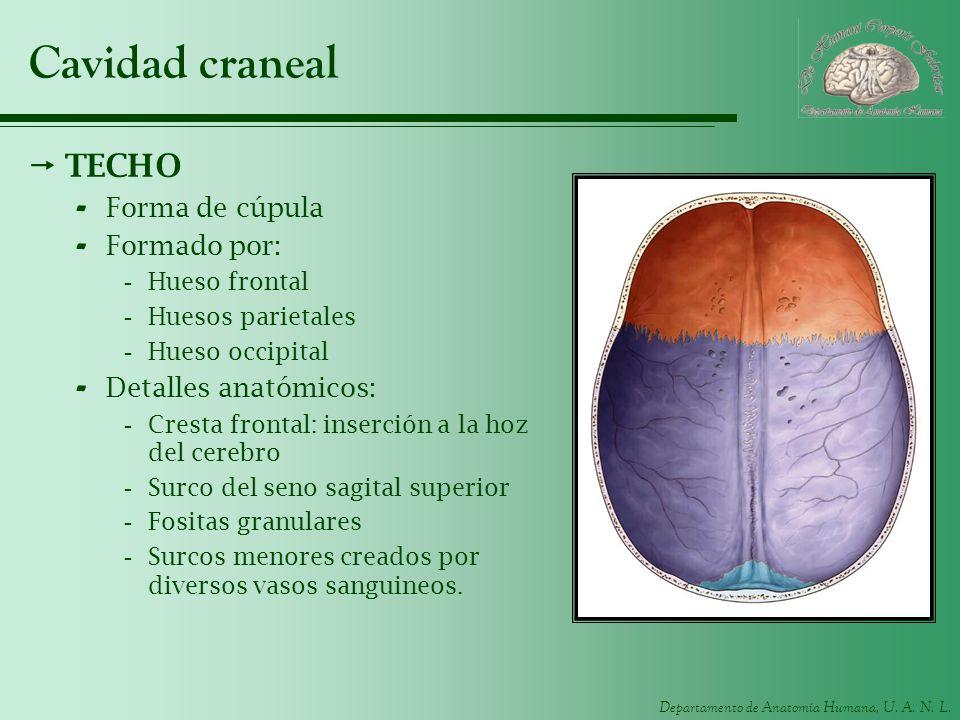 Departamento de Anatomía Humana, U. A. N. L. Cavidad craneal TECHO - Forma de cúpula - Formado por: -Hueso frontal -Huesos parietales -Hueso occipital
