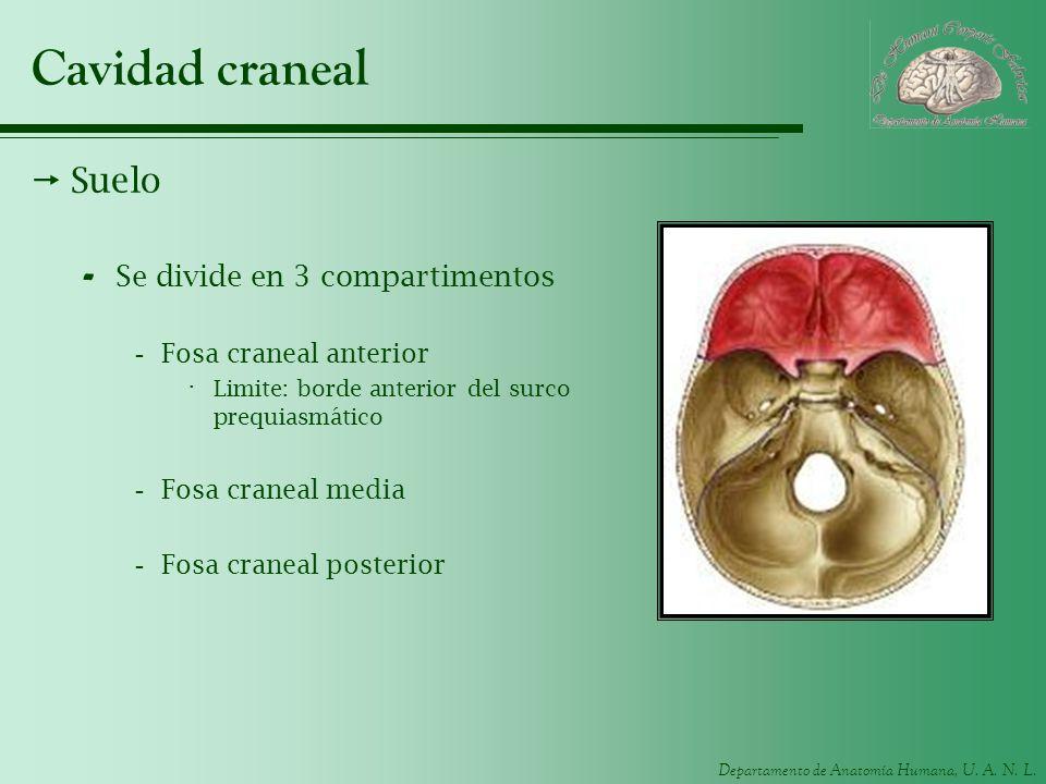 Departamento de Anatomía Humana, U. A. N. L. Cavidad craneal Suelo - Se divide en 3 compartimentos -Fosa craneal anterior · Limite: borde anterior del