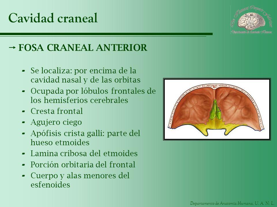 Departamento de Anatomía Humana, U. A. N. L. Cavidad craneal FOSA CRANEAL ANTERIOR - Se localiza: por encima de la cavidad nasal y de las orbitas - Oc