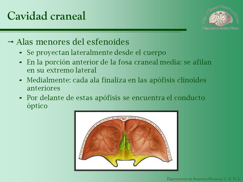 Departamento de Anatomía Humana, U. A. N. L. Cavidad craneal Alas menores del esfenoides - Se proyectan lateralmente desde el cuerpo - En la porción a